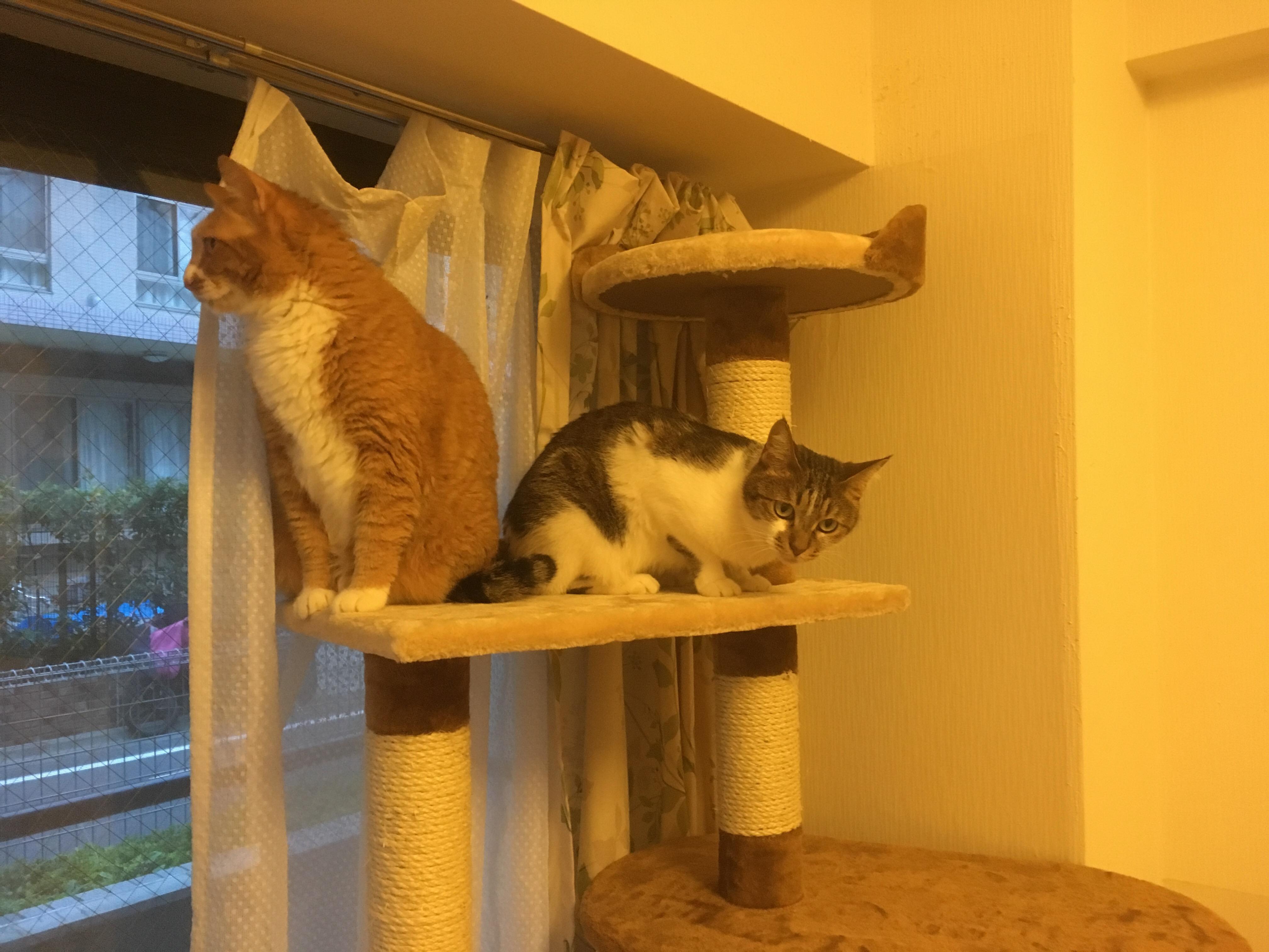 新しい猫タワーに登る猫