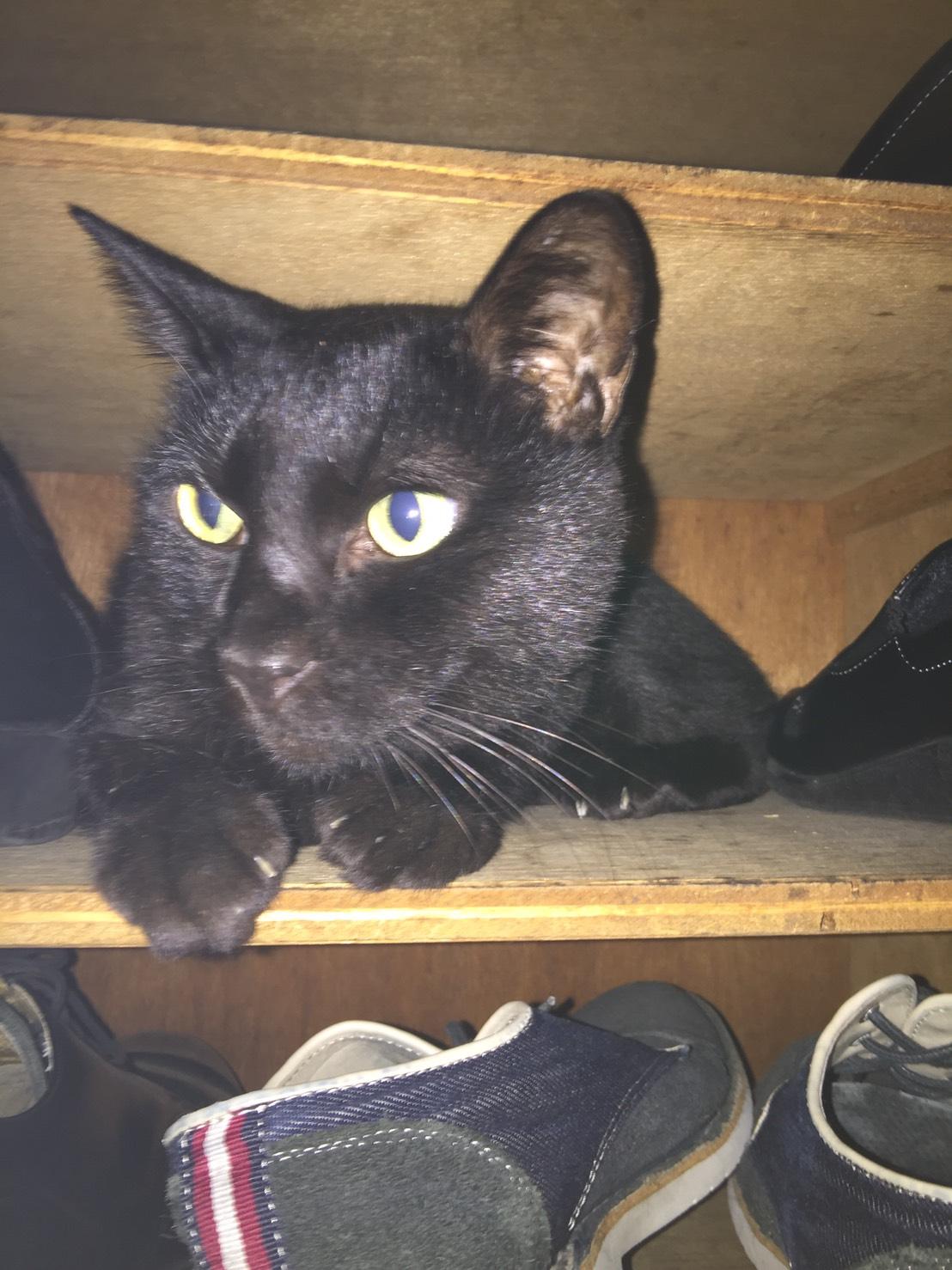黒猫が靴箱にすっぽり