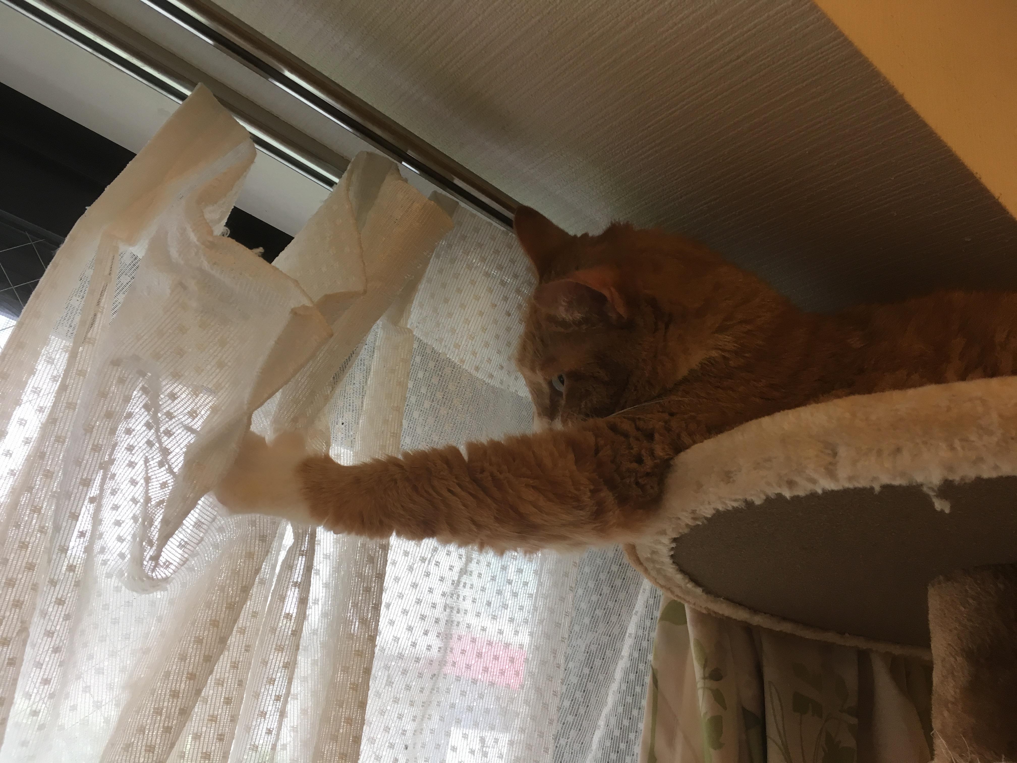カーテンを開ける猫